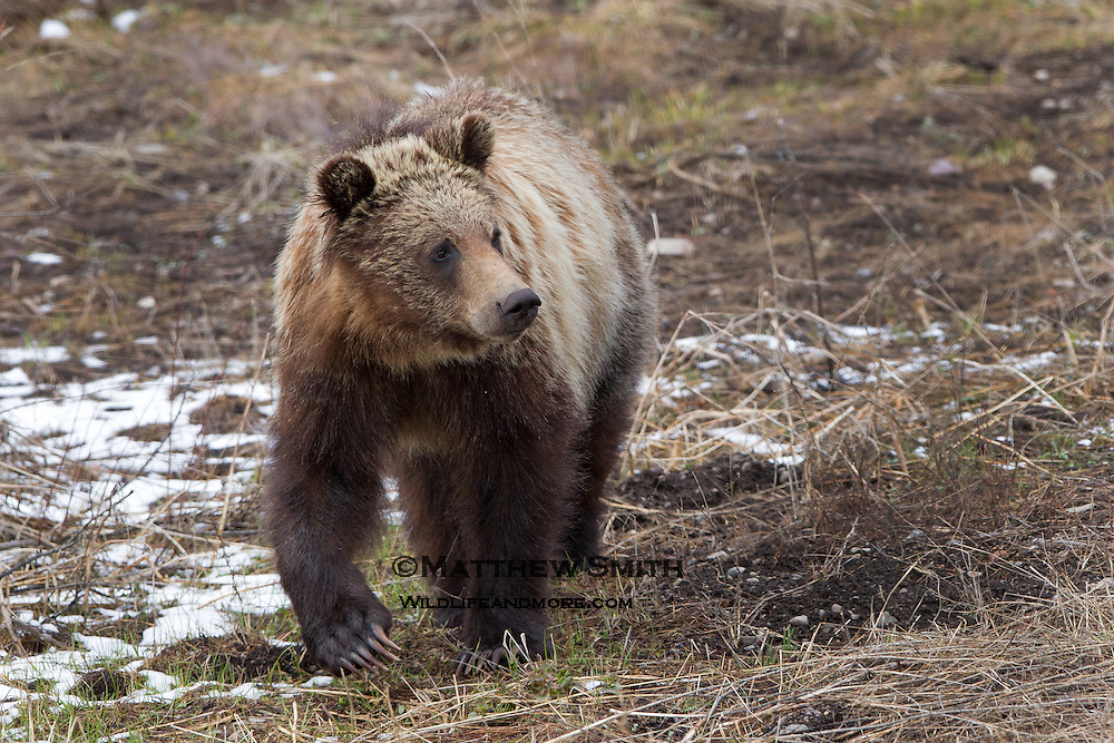 Young Grizzly Bear showing off his claws in Grand Teton National Park