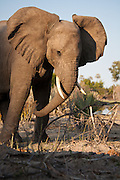 Elephant with ears flared,  Kwetsani, Botswana.