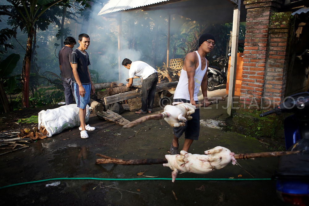 Two pigs have been killed and scewed on large wooden sticks, while other men are preparing a fire where they mainly use dry coconut .<br /> A suckling pig is a piglet fed on it's mothers milk. A suckling pig is slaughtered between the ages of two and six weeks. It's traditionally cooked whole, often roasted and is usually prepared for special occasions and gatherings.<br /> Ubud, Bali2013<br /> &copy;Ingetje Tadros