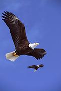 Alaska. Bald Eagles ( Haliaeetus leucocephalus ) with 8 foot wingspans.