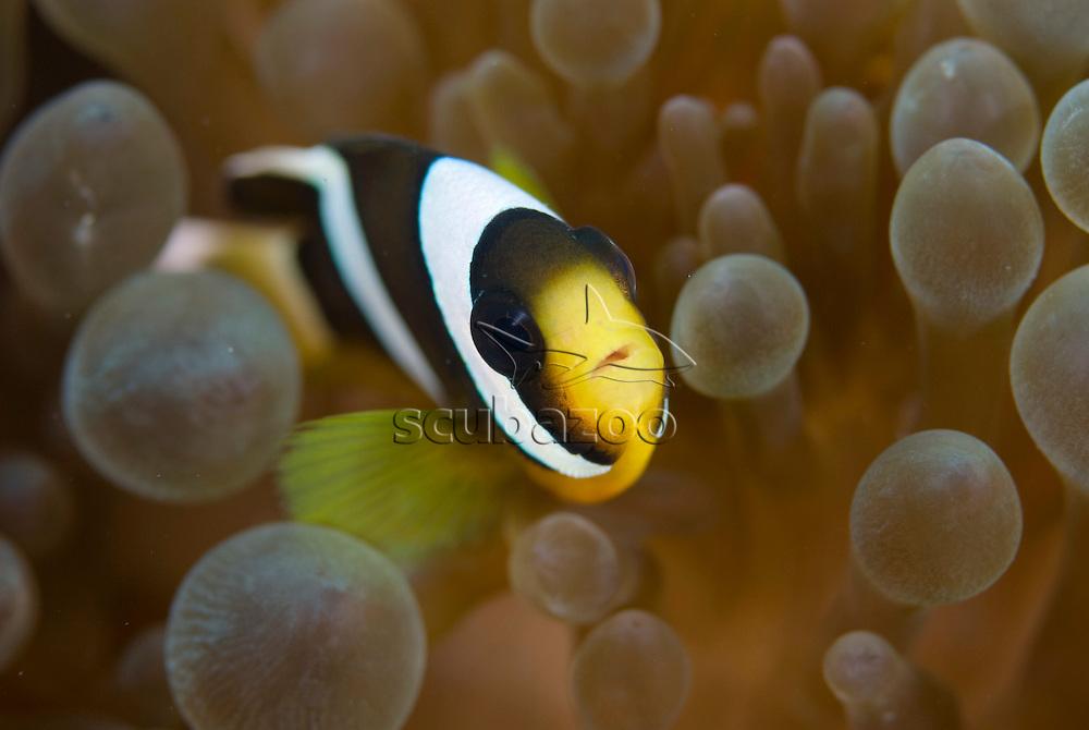 Saddleback Anemonefish, Amphiprion polymnus, in anemone, KBR, Lembeh Strait, Sulawesi, Indonesia.