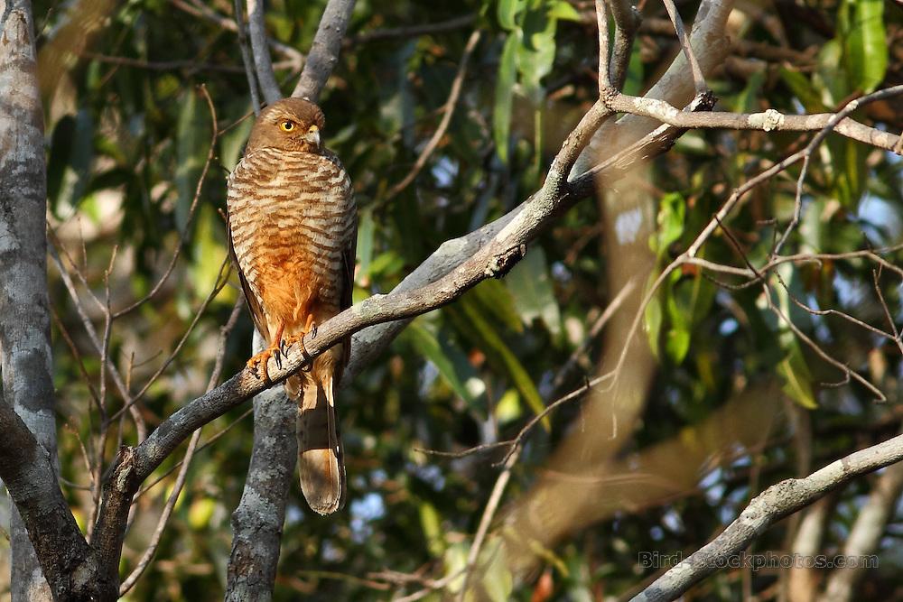 Frances's Sparrowhawk, Accipiter francesiae, Madagascar, by Markus Lilje