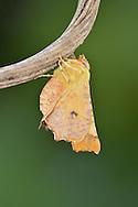 Canary-shouldered Thorn - Ennomos alniaria - 70.234 (1913)