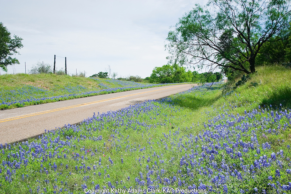 Texas bluebonnets, spring wildflowers and the state flower of Texas, along Ranch Road 2323 between Llano and Fredericksburg, in the Texas hill country.