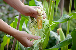 Checking sweetcorn husk to see if it is soft and ready to harvest.