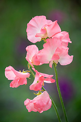 Lathyrus odoratus 'Princess Elizabeth'. Sweet pea