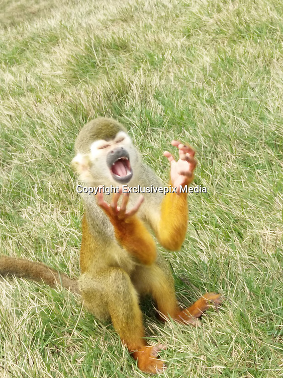 "Naughty monkey gives dramatic expressions while begging for food<br /> <br /> A set of funny pictures of the squirrel monkey emerged on social media site today.  <br /> The squirrel monkey, from Chongqing's Yongchuan Wild Animals World, acted in such a funny way that tourists burst out laughing.   <br /> Some web users said the monkey seemed to be yelling 'oh my god' or 'why'.<br /> One Facebook user named 'Hon Elizabeth Sang' said: 'It's like (the monkey is) saying: ""oh lord, give us food and water to drink.""'<br /> Another user named 'Denise Lyra Amago Preeo' wrote: 'This monkey is initialising his power.'<br /> Some users suggested that the monkey should be the face of new stickers on instant messaging app such as WeChat and Line.<br /> <br /> Squirrel Monkey is one of the smallest species in the primate group. <br /> It has an average height of 9.8 to 14 inches and weight of 1.68 to 2.38 pounds.<br /> These tiny animals are omnivores and normally eat flowers, leaves, nuts, insects, lizards and eggs.<br /> Yongchuan Wild Animals World was opened in 2000. It has more than 430 animal species, including some endangered and protected species such as snow leopard and strawberry tiger.<br /> The zoo later expanded to be the Leheledu Holiday Resort which has restaurants and hotel rooms.<br /> ©Exclusivepix Media"