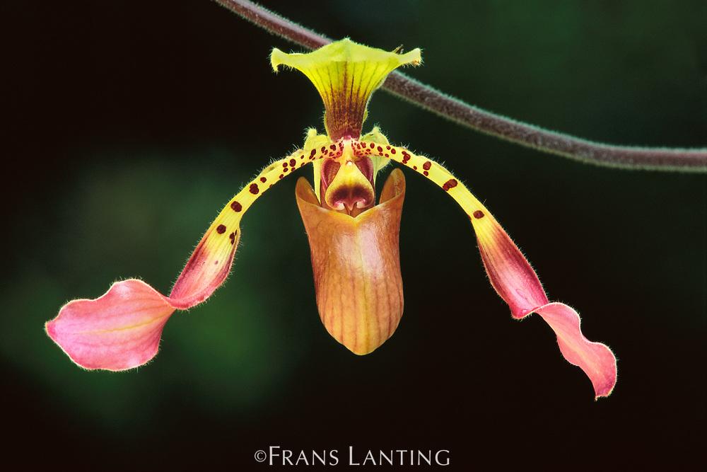 Low's slipper orchid, Mt Kinabalu National Park, Sabah, Borneo