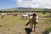 Horses, Parker Ranch, Waimea, Kamuela, Island of Hawaii<br />
