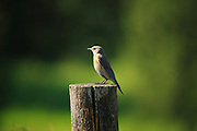 IDAHO. Deary. Western Bluebird (Sialia mexicana) perching on fence post in summer. June 2006 #bb060053