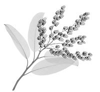 X-ray image of a fetterbush branch (Pieris floribunda, black on white) by Jim Wehtje, specialist in x-ray art and design images.