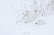 01863-01402 Two Arctic Foxes (Alopex lagopus) in snow Chuchill Wildlife Mangaement Area, Churchill, MB Canada