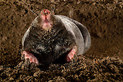 [captive] European Mole (Talpa europaea) in its subterranean burrow. Kiel, Germany | Maulwurf (Talpa europaea) in seinem unterirdischen Gang. Kiel, Deutschland