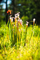 Perhaps the most beautiful of North America's threatened carnivorous plant species, the white-topped pitcher plant is native to Florida, Georgia, Alabama, Mississippi and the western tip of North Carolina. This surprising find in Georgia's Grady County is possibly the part of the state's easternmost population, and covered a very rural area in a pine forest no bigger than an acre.