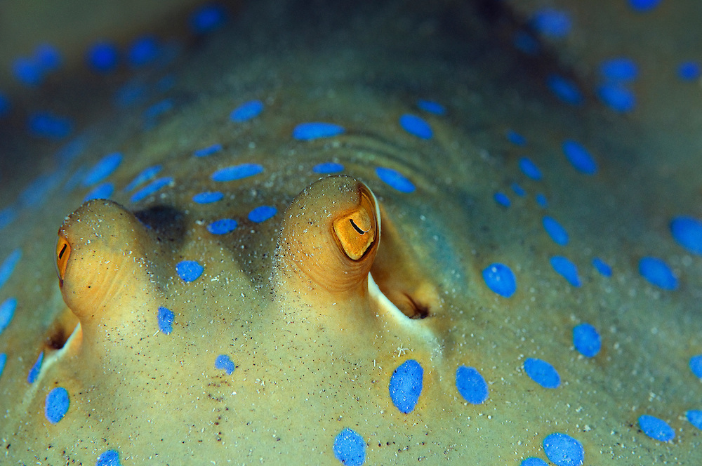 The strict eyes of blue spotted ribbontail, Taeniura lymma, floating in its own surrealistic blue spotted back-drop.