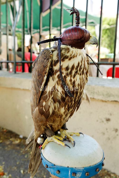 A Gyr Falcon on display wearing a leather hood.