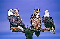 Mature and immature Bald Eagles (Haliaeetus leucocphalus) on a old tree.  Homer, Alaska.