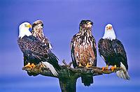 Mature and immature Bald Eagles (Haliaeetus leucocphalus) on a old tree.  Homer, Alaska.