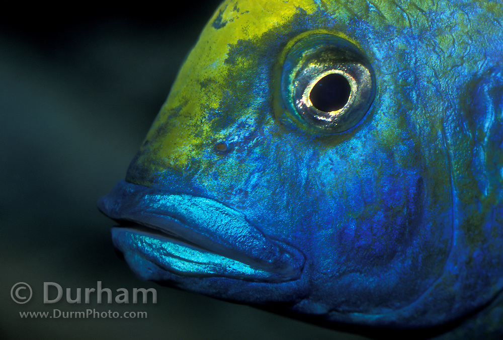 African cichlid (Aulonocara spp.) detail image. Captive - Vancouver BC. Native to Lake Victoria in Central Africa.
