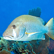 Dog Snapper inhabit mid-range reefs, in Tropical West Atlantic; picture taken Little Cayman.