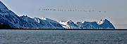A large row of Little Auks (Alle alle) head towards the coast of Prins Karls Forland (Svalbard, Norway) as the sun rizes.