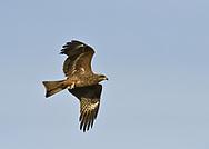 Black Kite - Milvus migrans<br /> juvenile