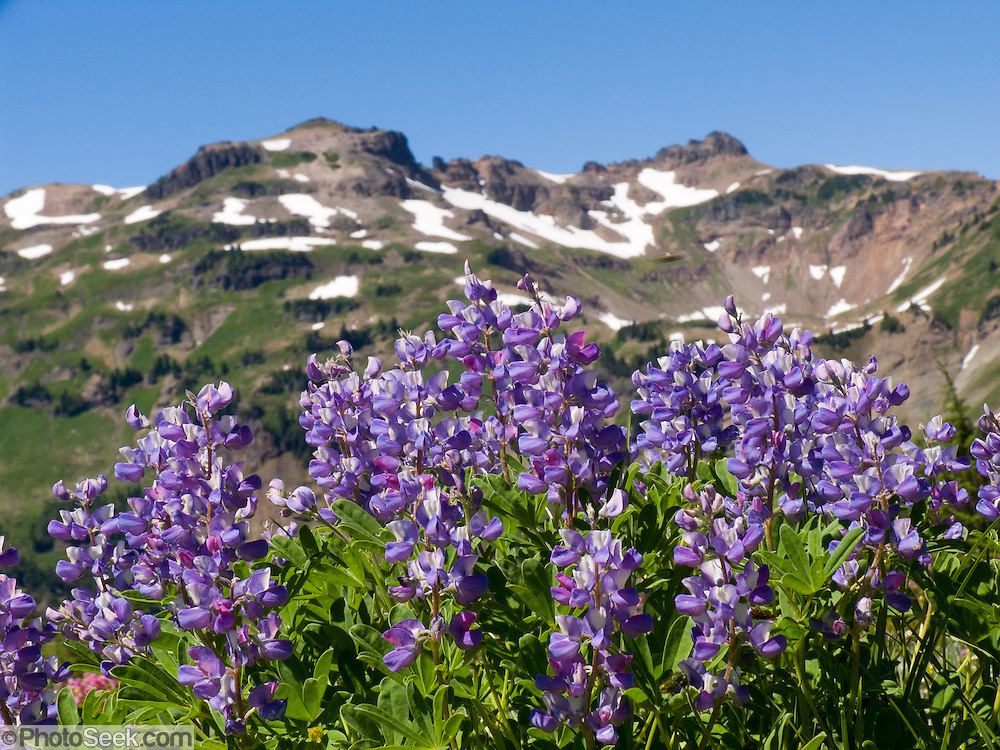Lupine flowers bloom near Hawkeye Point (the peak on left, 7431 feet elevation) in Goat Rocks Wilderness Area, Washington, USA. Lupinus is a genus in the pea family (also called the legume, bean, or pulse family, Latin name Fabaceae or Leguminosae).