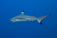 Blacktip reef shark- Requin à pointes noires (Carcharhinus melanopterus) Moorea, French Polynesia.