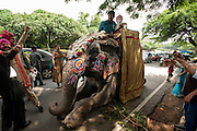 6th September 2014, New Delhi, India. Celebrants dance in the street around an elephant handler and groom atop a prostate elephant decorated for an Indian wedding at New Rajinder Nagar, New Delhi, India on the 6th September 2014<br /> <br /> Elephant handlers (Mahouts) eke out a living in makeshift camps on the banks of the Yamuna River in New Delhi. They survive on a small retainer paid by the elephant owners and by giving rides to passers by. The owners keep all the money from hiring the animals out for religious festivals, events and weddings, they also are involved in the illegal trade of captive elephants. The living conditions and treatment of elephants kept in cities in North India is extremely harsh, the handlers use the banned 'ankush' or bullhook to control the animals through daily beatings, the animals have no proper shelters are forced to walk on burning hot tarmac and stand for hours with their feet chained together. <br /> <br /> PHOTOGRAPH BY AND COPYRIGHT OF SIMON DE TREY-WHITE<br /> + 91 98103 99809<br /> email: simon@simondetreywhite.com photographer in delhi