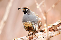 A male California quail stands on a dead branch resting after feeding on weed seeds on the snow covered ground.