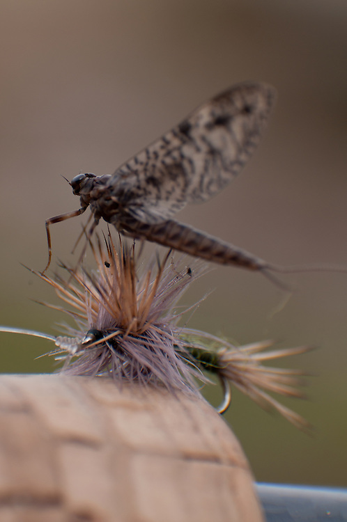 A March Brown clings to a dry fly shortly after hatching.