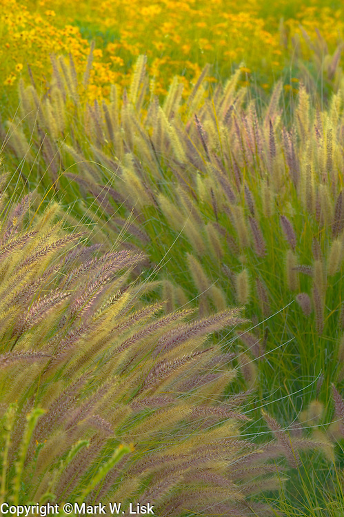 Bearded grasses and Brittle Brush fills a wash in  the Superstition Wilderness of Arizona