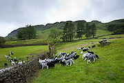 Herdwick sheep and lambs being herded up at Westhead Farm by Thirlmere in the Lake District National Park, Cumbria, UK