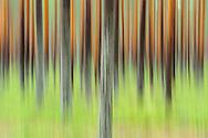Taiga pine forest, Pinus sylvestris, Kuhmo, Finland