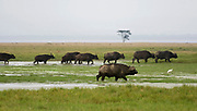 African Buffalos walk the marsh of Lake Nakuru, Kenya