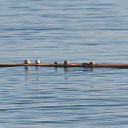 A board floats on Puget Sound, balancing a collection of stones.  Photo by William Byrne Drumm.