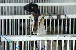 05 August 2016:   McLean County Fair<br /> <br /> goat