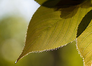 Detailed backlit view of the leaf structure of cherry tree leaves.  Chartreuse and olive-colored tones dominated the leaves and the soft bokeh background.