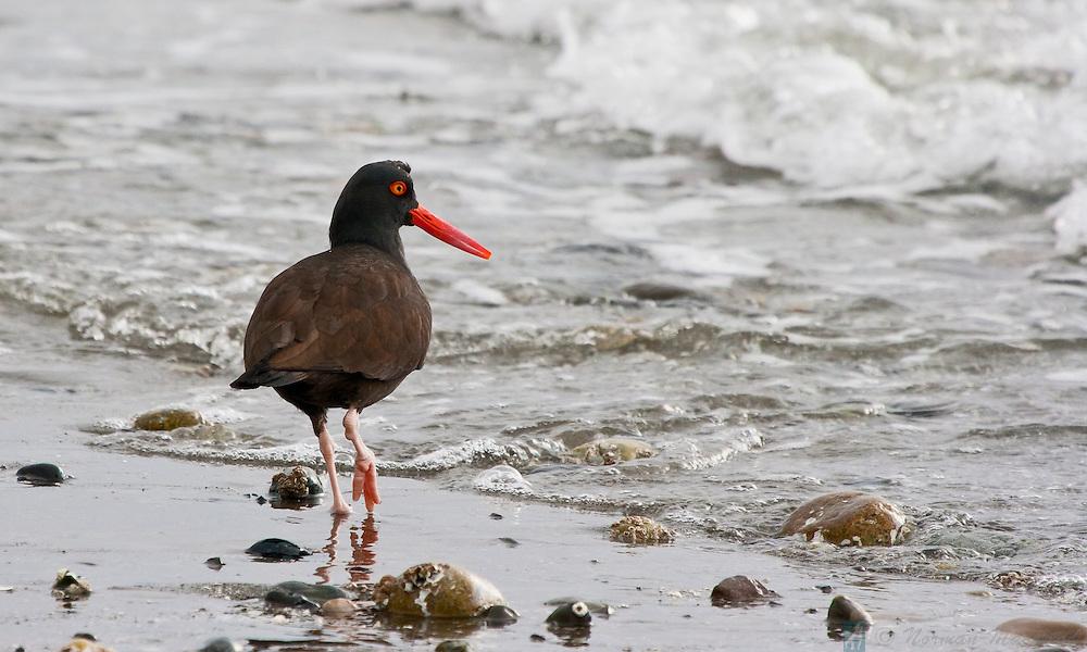 Oystercatcher looking for food on Marrowstone Island, near Nordland, Washington