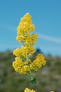 LADY'S BEDSTRAW Galium verum (Rubiaceae) Height to 30cm. Attractive, branched perennial and the only true bedstraw with yellow flowers. Stems are square and whole plant smells of hay. Found in dry grassland. FLOWERS are 2-3mm across, yellow and 4-petalled; in dense clusters (Jun-Sep). FRUITS are smooth nutlets that ripen black. LEAVES are narrow with down-rolled margins; in whorls of 8-12. Leaves blacken when dry. STATUS-Widespread and common.