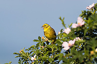 Yellowhammer, male singing on Rose bush, Emberiza citrinella, Rosa canina, Eastern Sovakia, Europe, Goldammer singt auf Rosenbusch, Emberiza citrinella, Slowakei, Europa