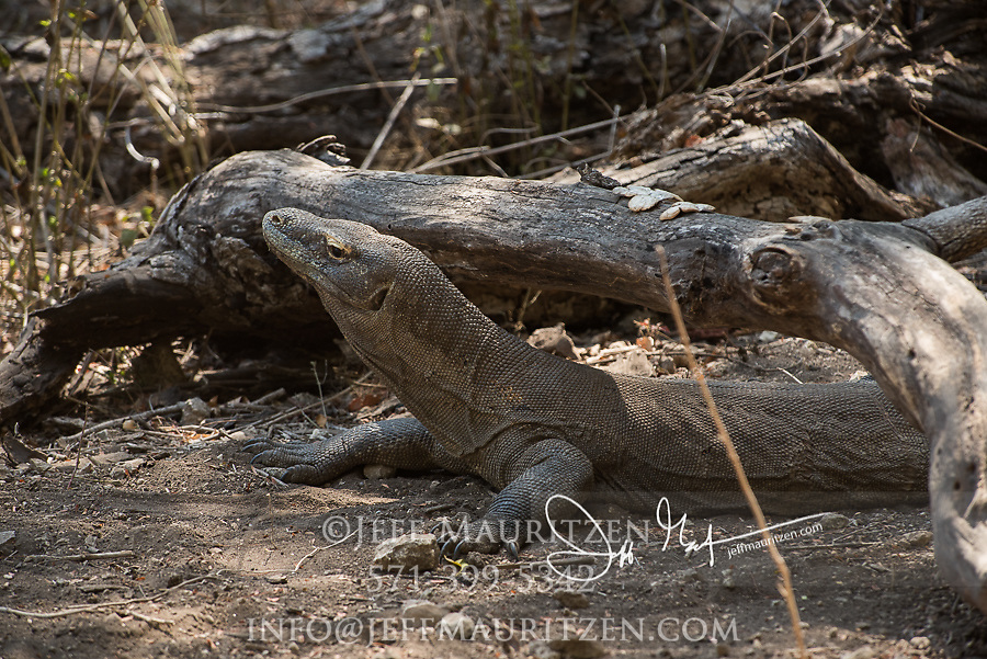 A Komodo dragon rests in the forest on Rinca Island, part of the Komodo National Park in Indonesia.