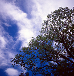 Tree and clouds at the Arnold Arboretum of Harvard University in the Jamaica Plain neighborhood of Boston, Mass., photographed Thursday, May 18, 2017. (Photo by D. Ross Cameron)