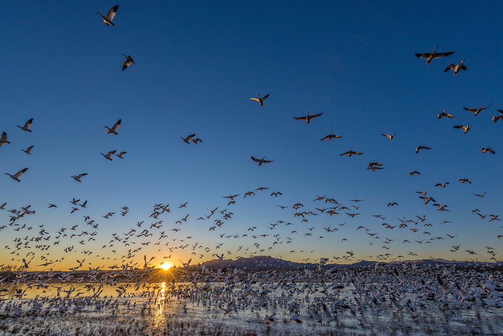 Snow geese at Bosque del Apache National Wildlife Refuge, New Mexico.