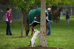 A barn cat sharpens its claws on a tree in the grazing paddock after workouts Saturday, April 27, 2013 at Churchill Downs in Louisville. Photo by Jonathan Palmer