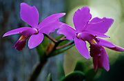 Jungle Beauty (Cattleya violacea) orchid in jungle - Amazonia, Peru.
