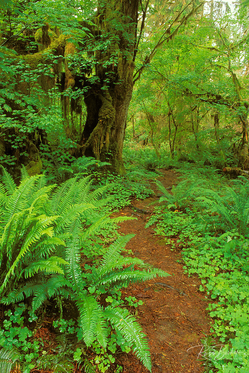 Sword ferns, sorrel, and bigleaf maple along trail in the Queets Rain Forest, Olympic National Park, Washington USA