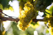 hand picking grapes at Fraser Gallop Estate, margaret River. Photo by Martine Perret 14 Deb 2014