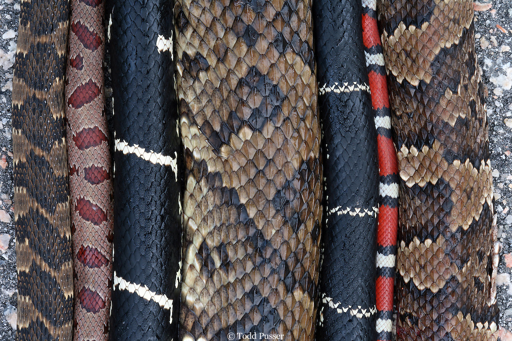 Snakes struck and killed by automobiles. From left to right: banded watersnake (Nerodia fasciata), mole kingsnake, (Lampropeltis calligaster), eastern kingsnake (Lampropeltis getula), eastern cottomouth ( Agkistrodon piscivorous), eastern kingsnake (Lampropeltis getula), scarlet kingsnake, (Lampropeltis triangulum elapsoides), and eastern cottonmouth (Agkistrodon piscivorous).  Specimens collected over two days in the sandhills of North Carolina, USA