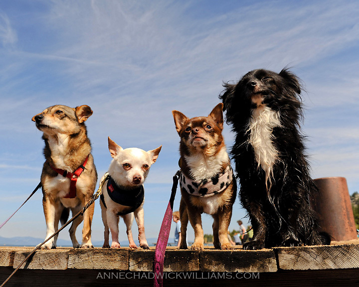Little rescue dogs including chihuahuas line the dock at Lake Tahoe, CA